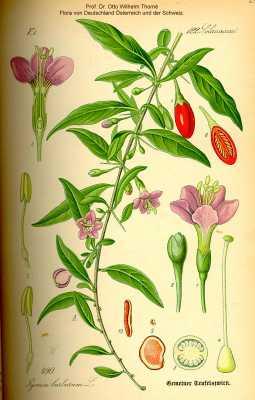 Solanaceae image