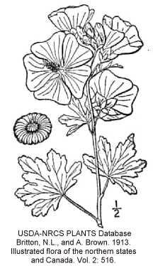 Malvaceae image