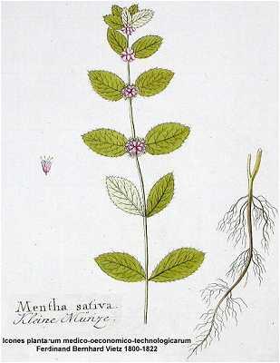 Mentha image