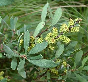 Myricaceae image