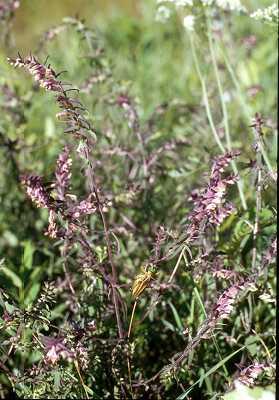 Orobanchaceae image