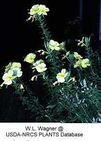 Oenothera glazioviana image