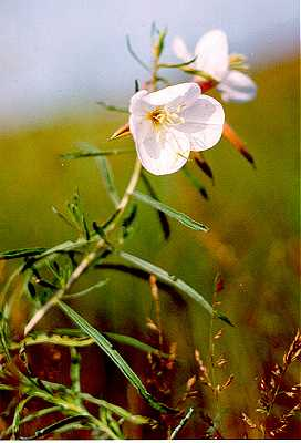 Oenothera nuttallii image