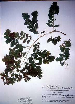 Osmundaceae image