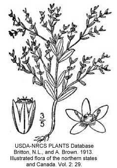 Paronychia fastigiata var. fastigiata image