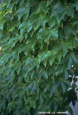 Vitaceae image