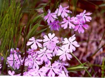Polemoniaceae image