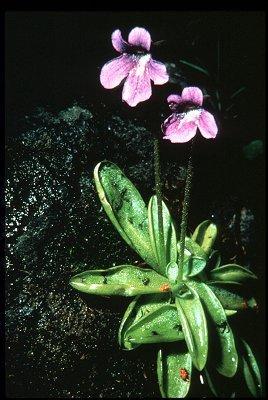 Lentibulariaceae image