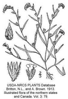 Plagiobothrys scouleri var. penicillatus image