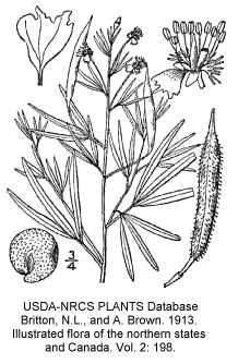 Polanisia jamesii image