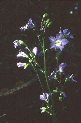 Polemonium occidentale subsp. lacustre image