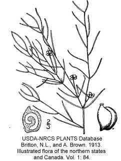Potamogeton pusillus image