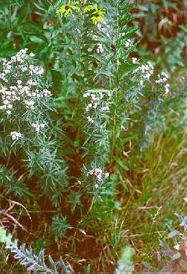 Pycnanthemum image