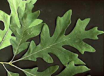 Quercus image