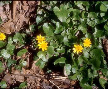 Ranunculaceae image
