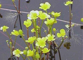 Ranunculus image