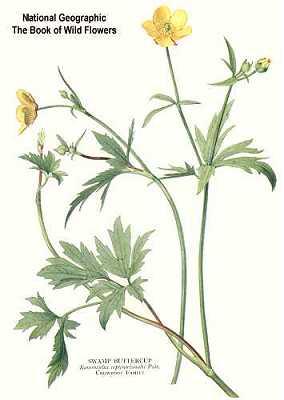 Ranunculus hispidus image