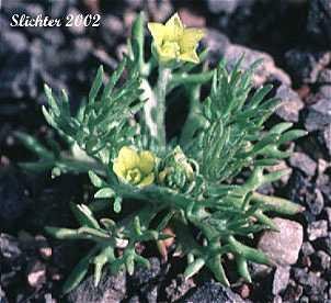 Ranunculus testiculatus image