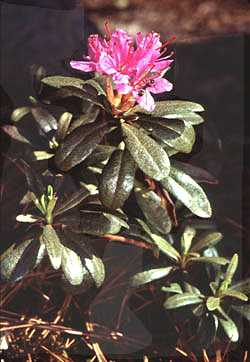 Rhododendron lapponicum image