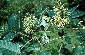 Anacardiaceae image