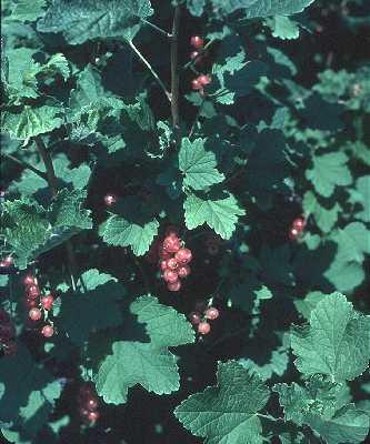Grossulariaceae image