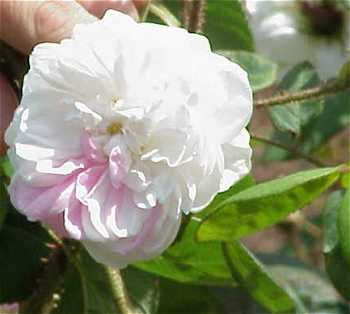 Rosa X centifolia image
