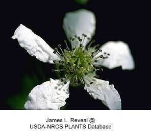 Rubus image