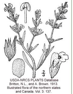 Satureja hortensis image