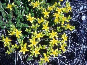 Crassulaceae image