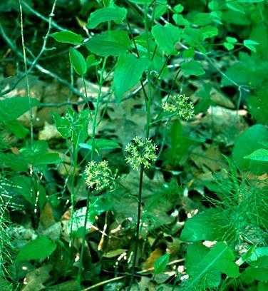 Smilacaceae image