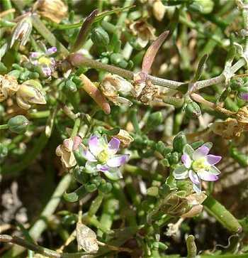 Spergularia marina image