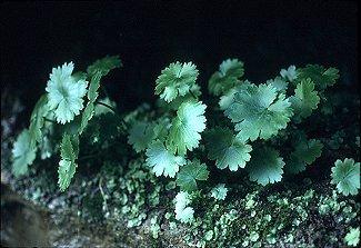 Saxifragaceae image