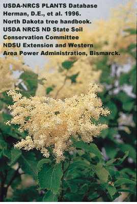 Syringa reticulata subsp. reticulata image