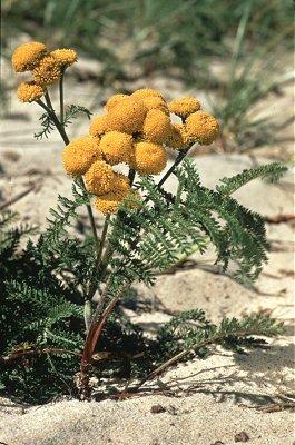Tanacetum bipinnatum subsp. huronense image