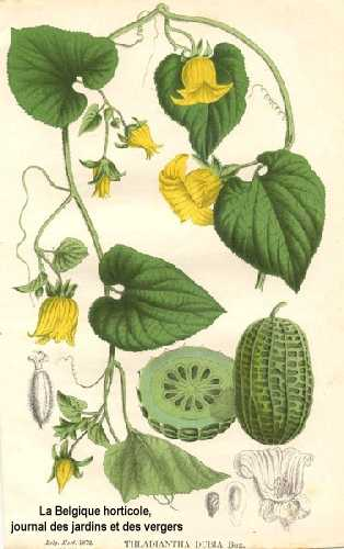 Thladiantha dubia image
