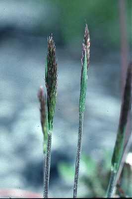 Trisetum image