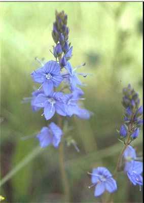Veronica austriaca subsp. teucrium image