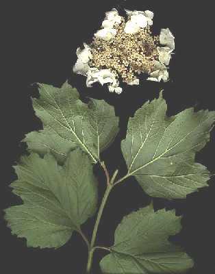 Viburnum opulus subsp. opulus image