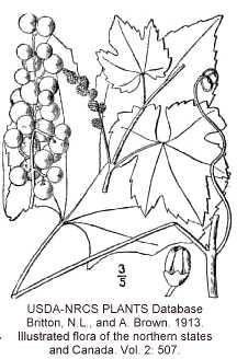 Vitis aestivalis var. argentifolia image