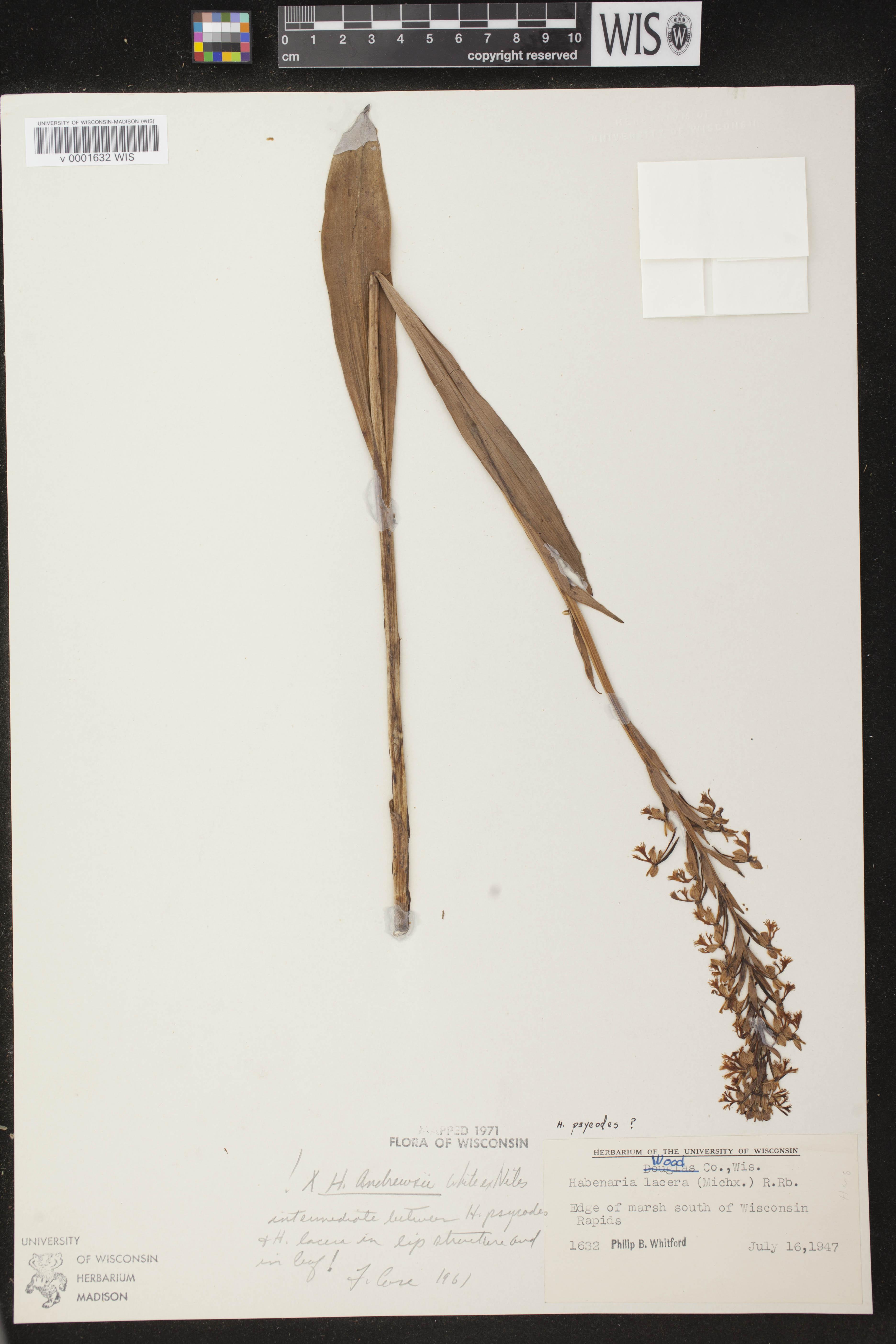 Image of Platanthera x andrewsii