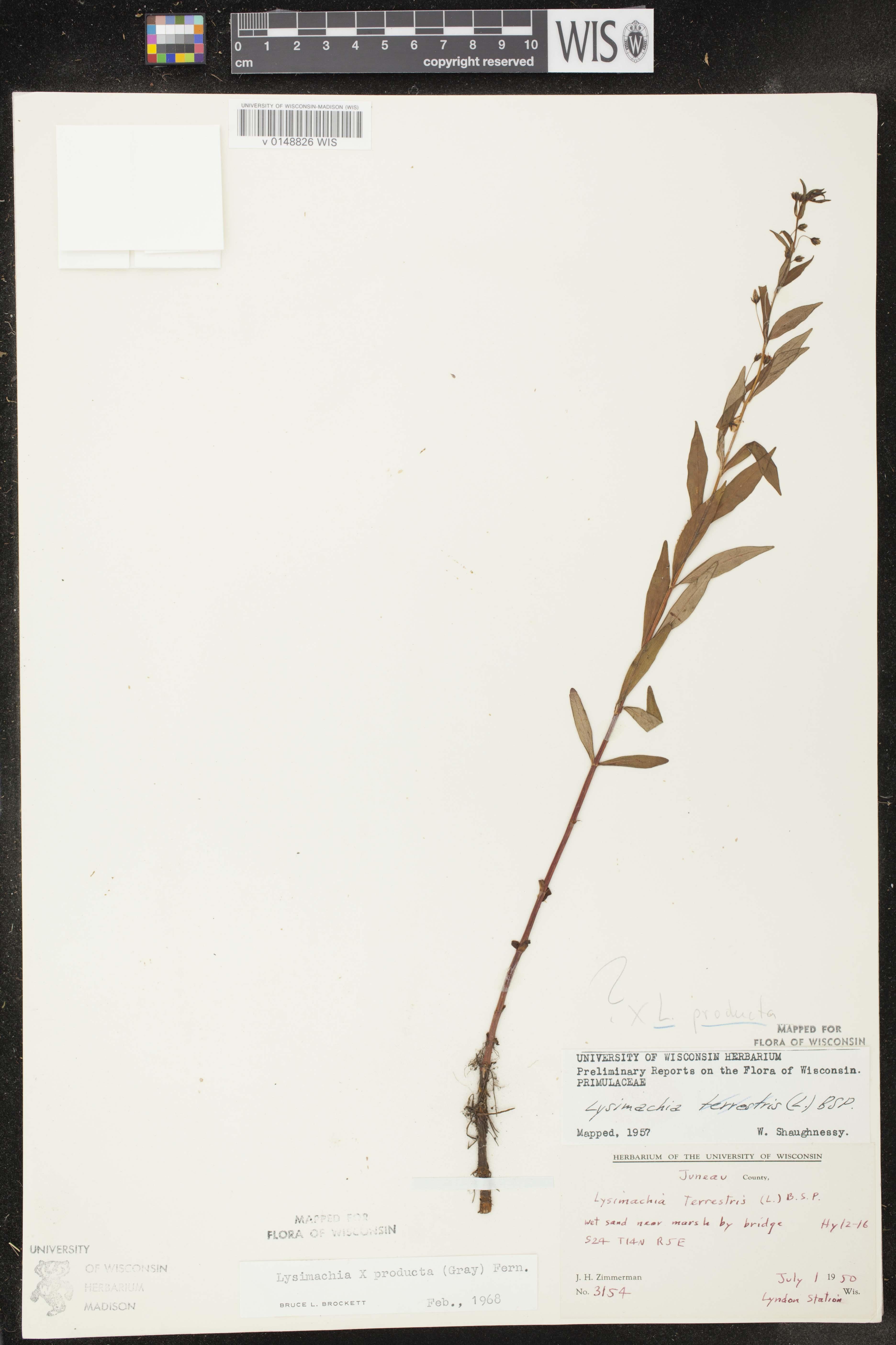 Image of Lysimachia x producta