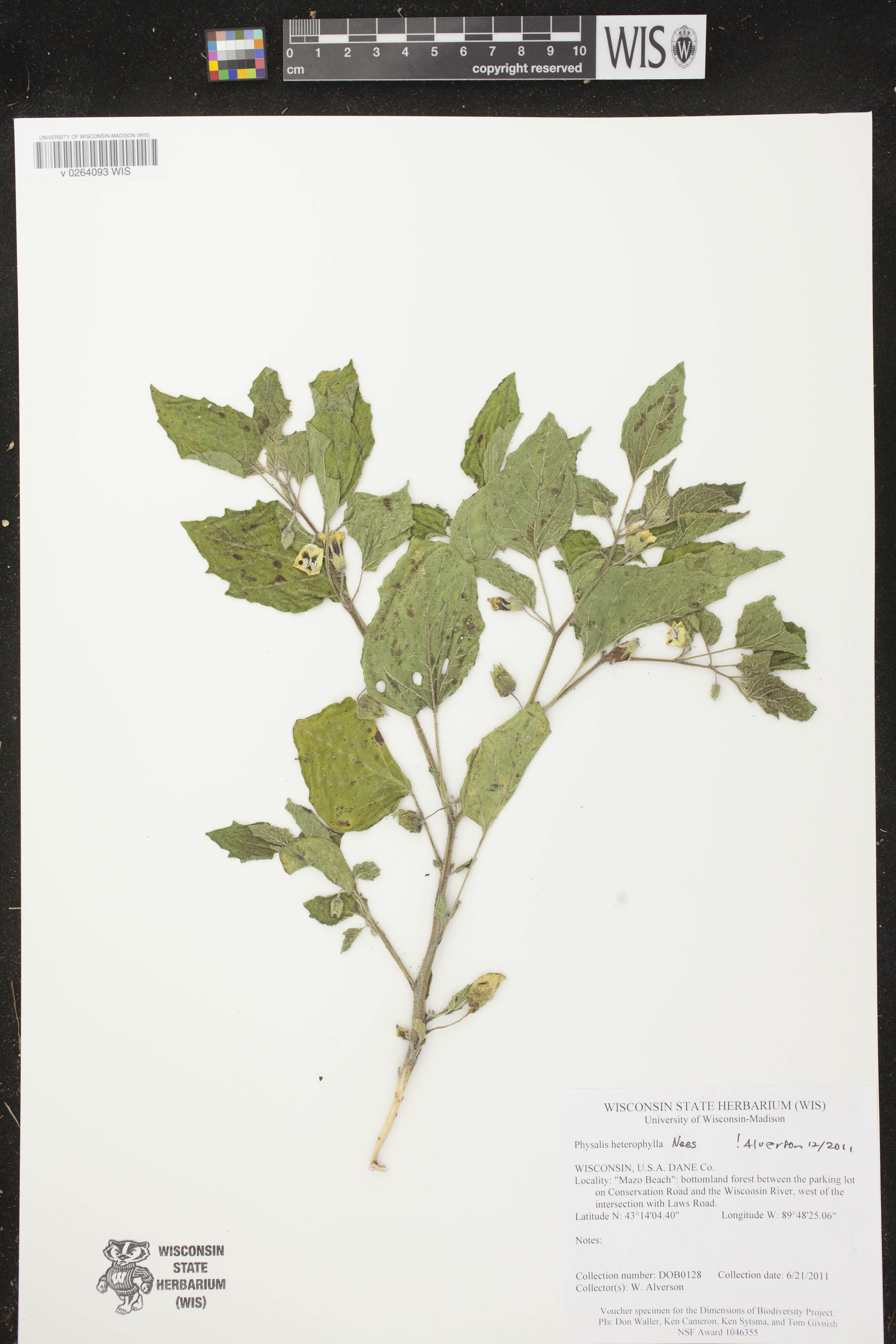 Image of Physalis heterophylla
