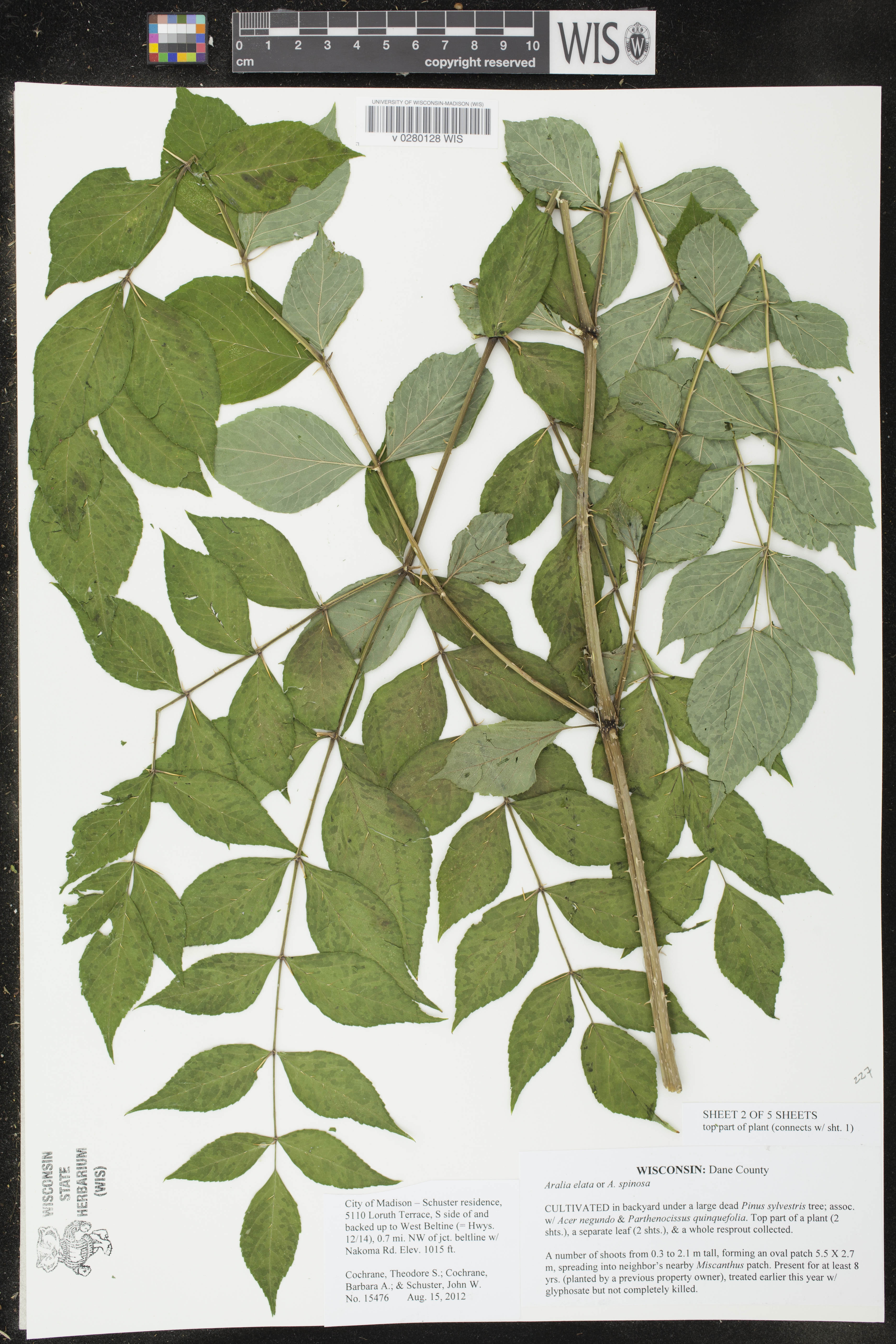 Image of Aralia