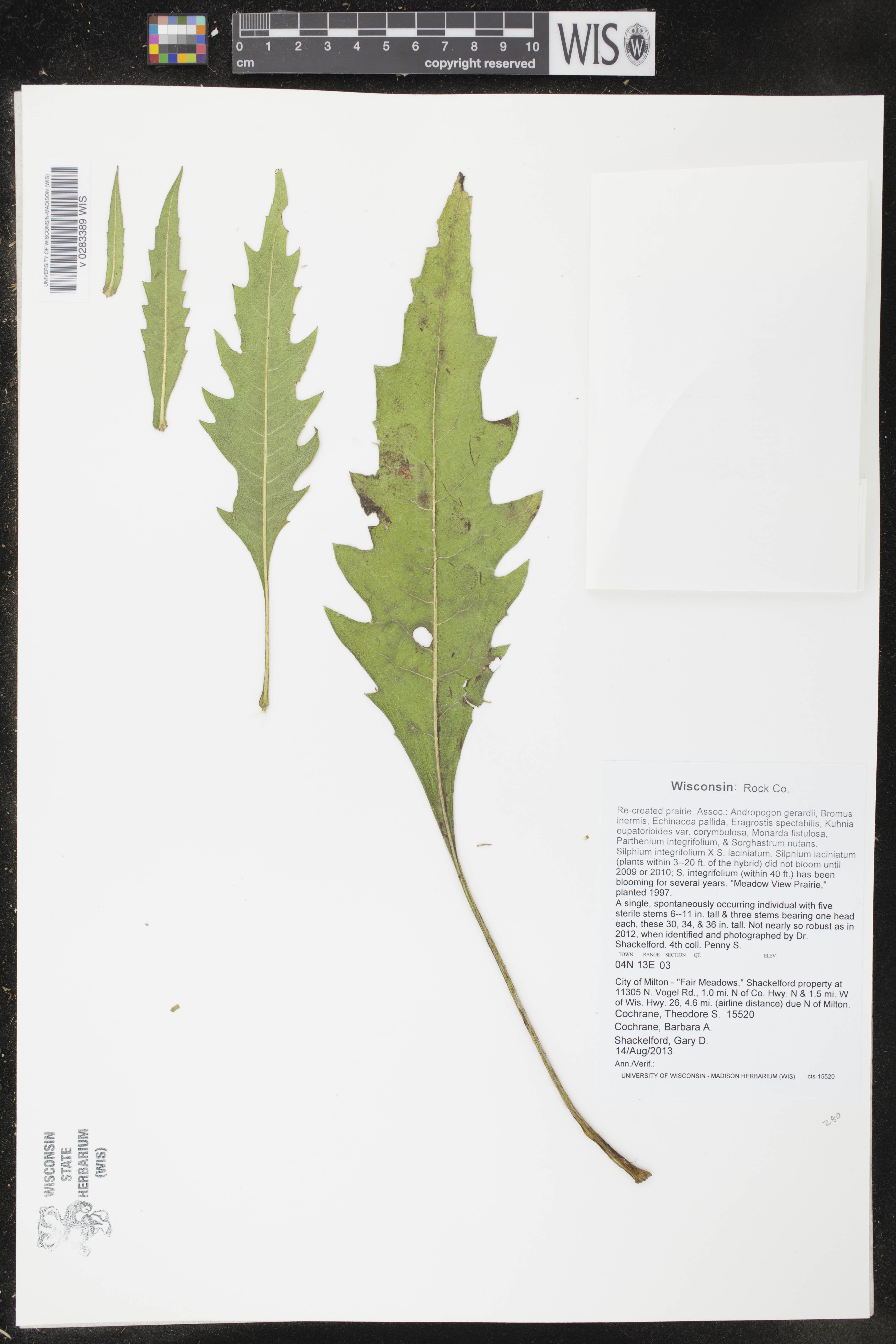 Image of Silphium integrifolium x s. laciniatum
