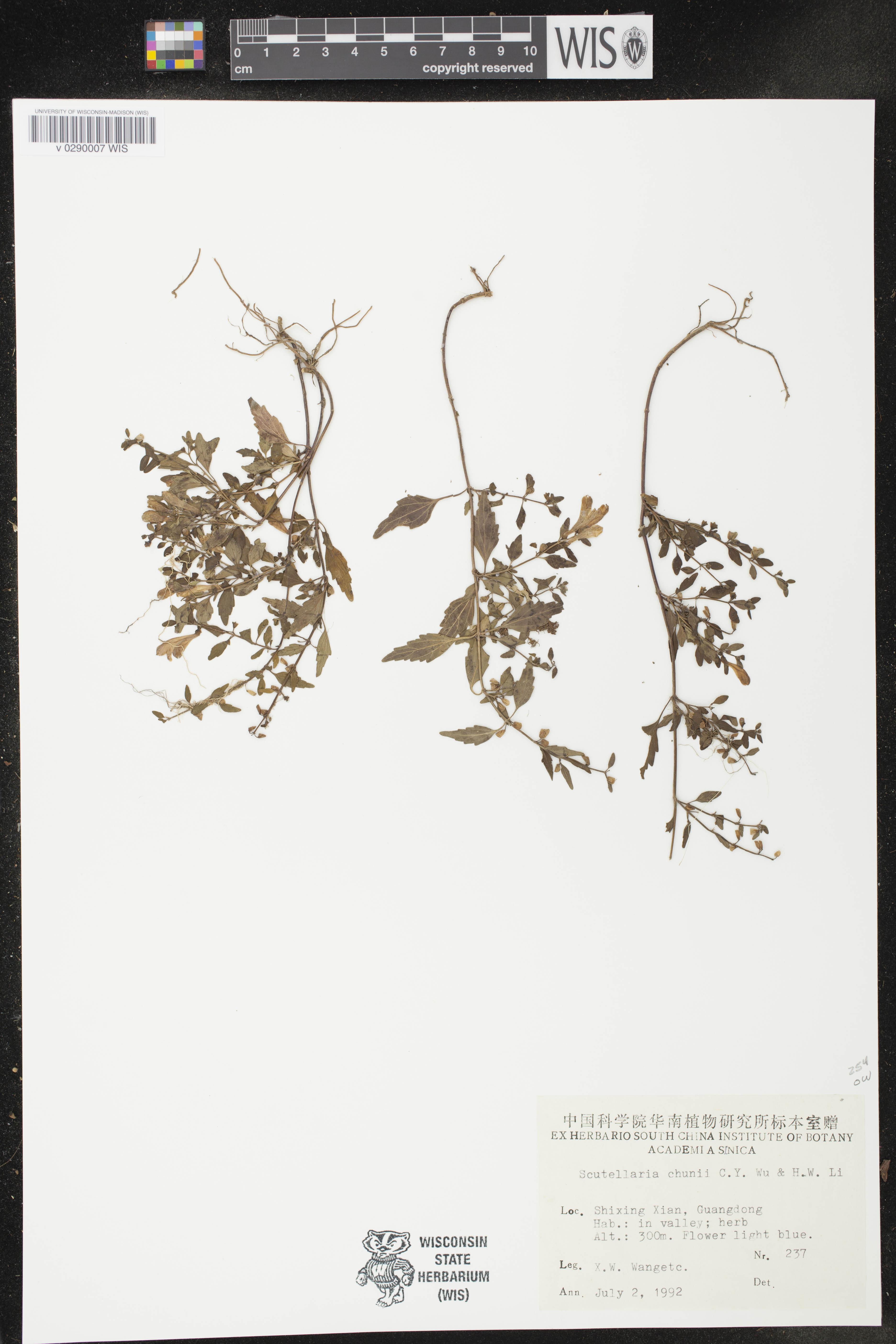 Image of Scutellaria