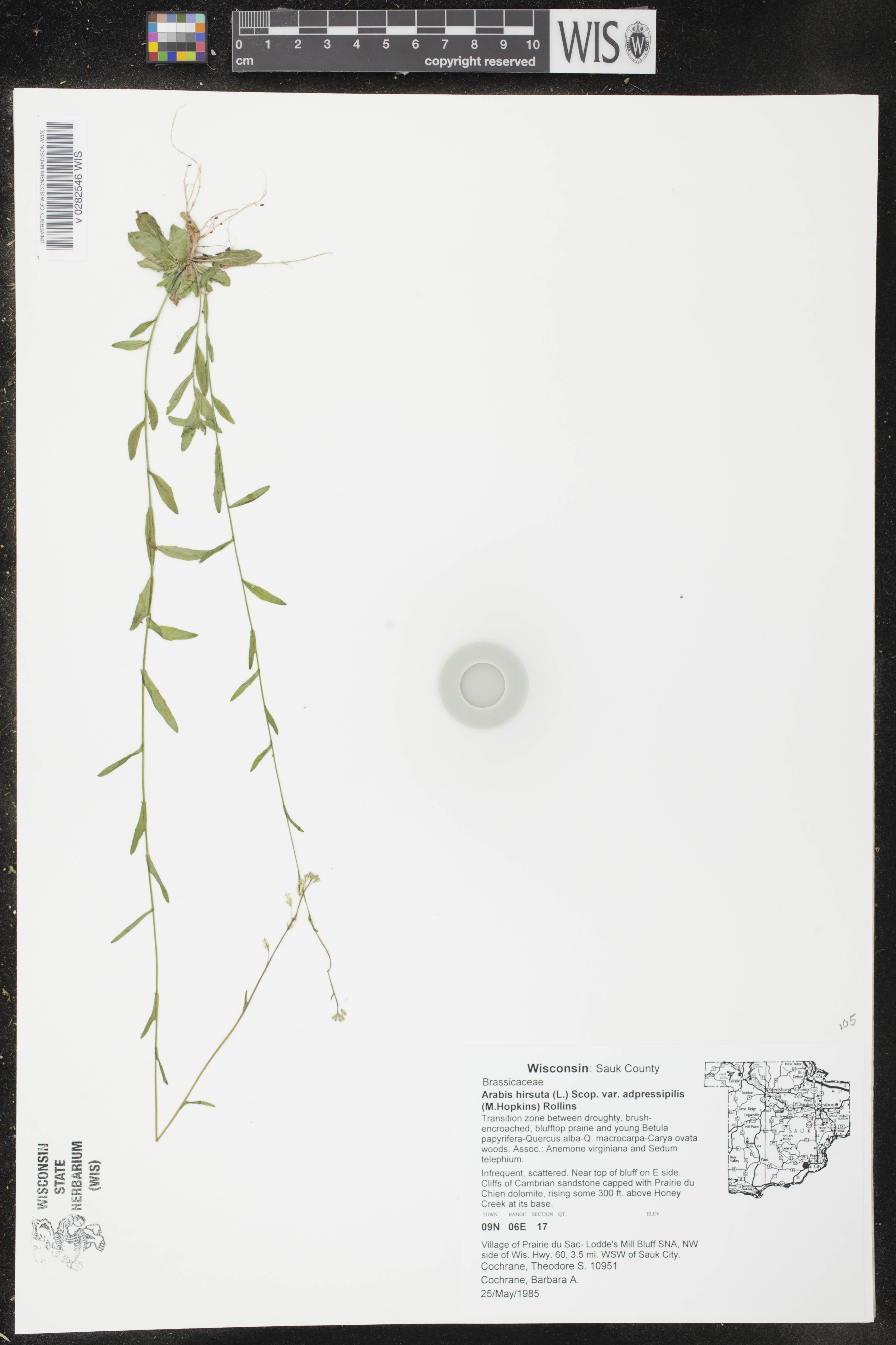 Image of Arabis pycnocarpa var. adpressipilis