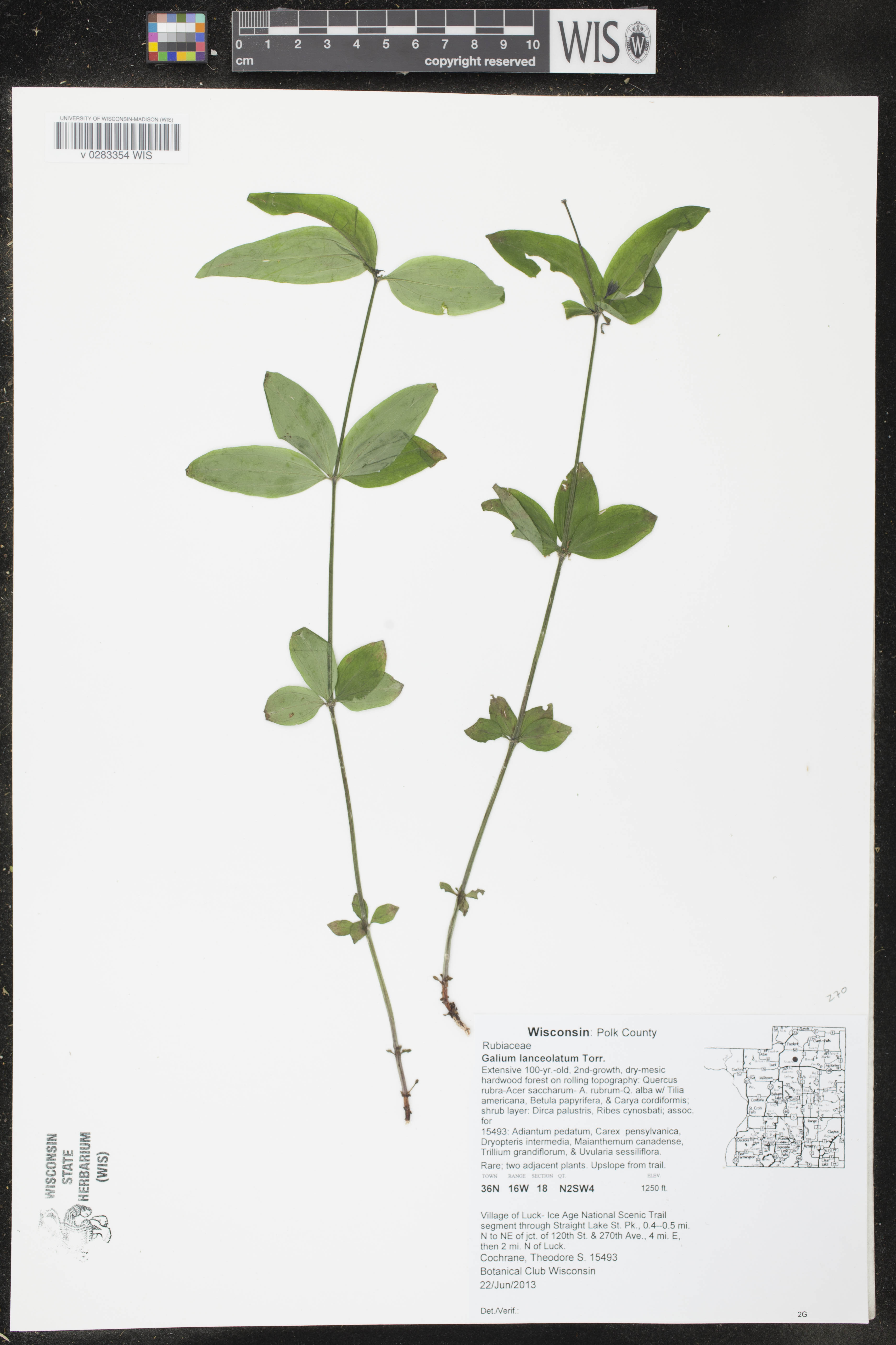 Image of Galium lanceolatum