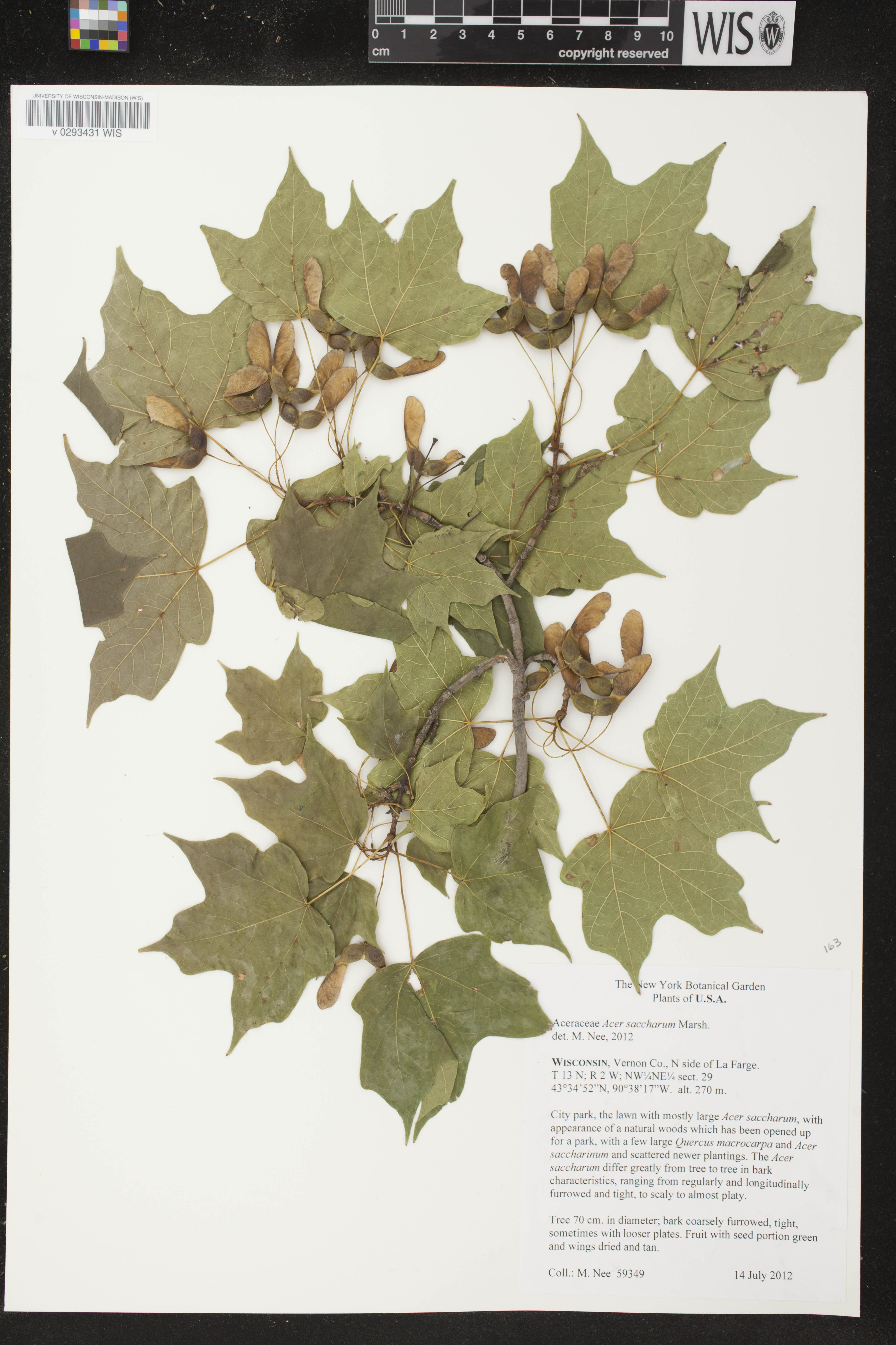 Image of Acer saccharum