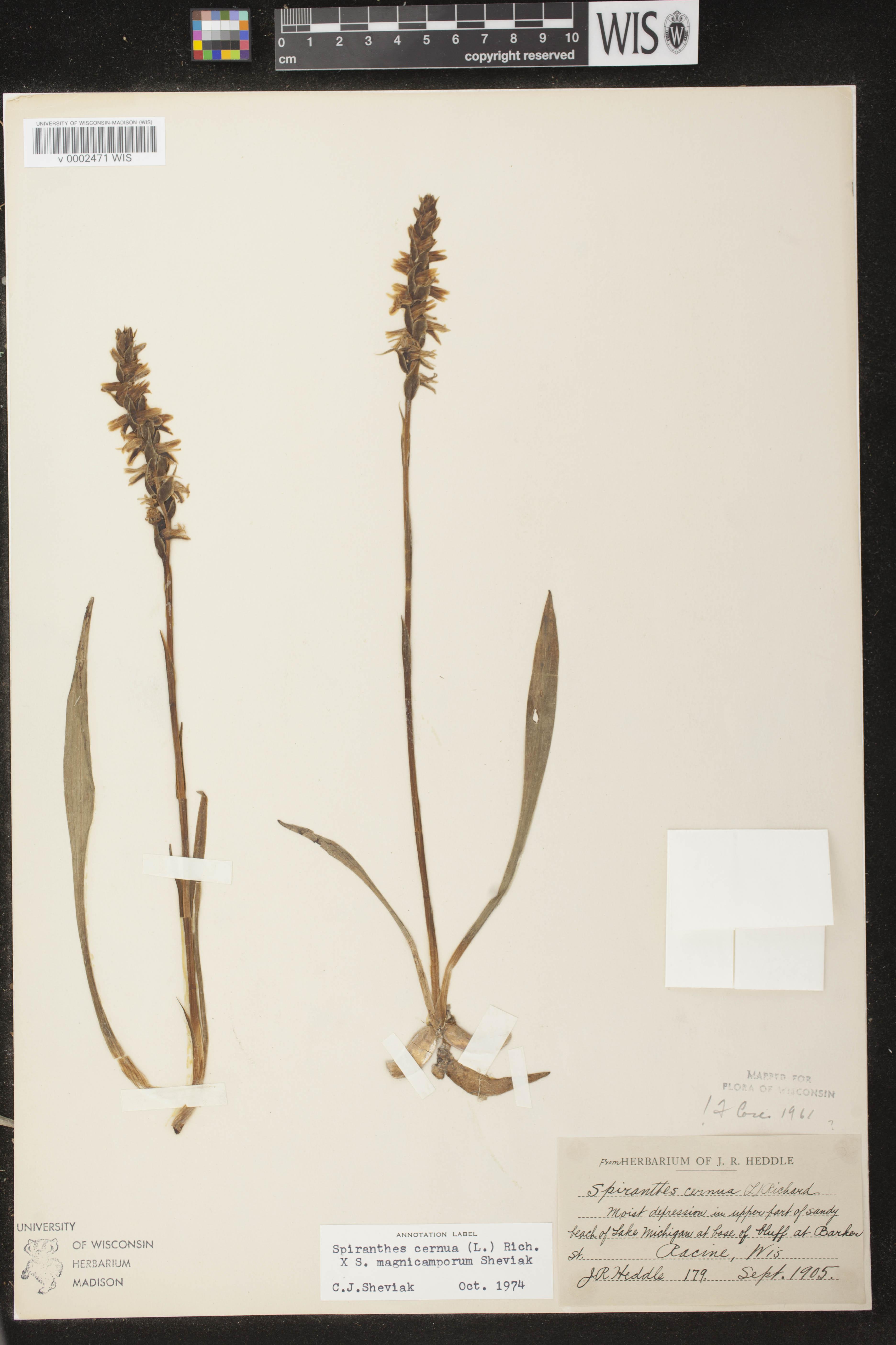 Image of Spiranthes cernua x s. magnicamporum