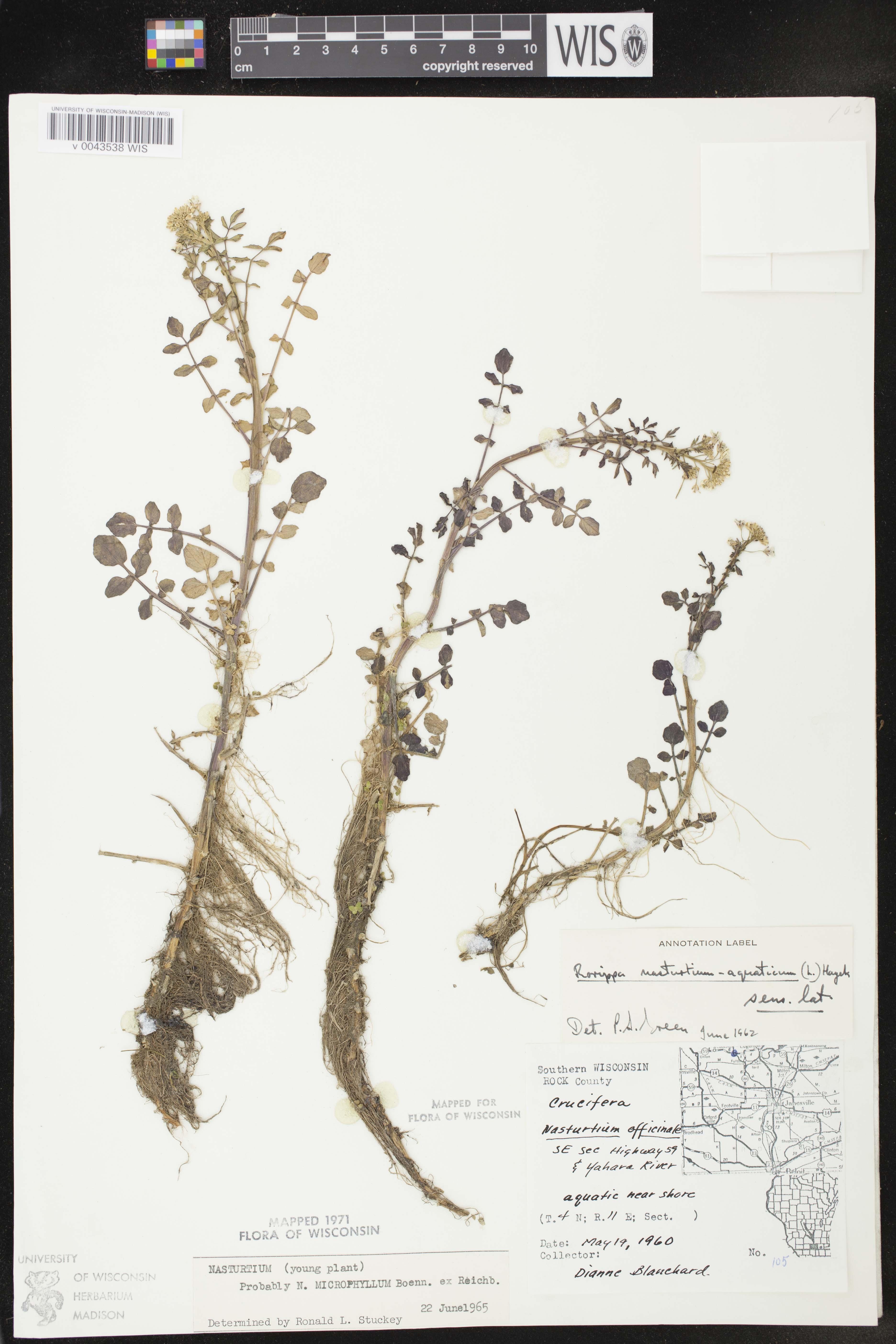 Image of Nasturtium microphyllum